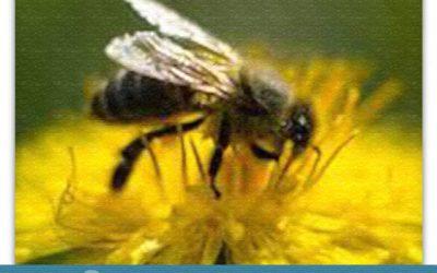 Vuela, vuela la abeja aventurera…